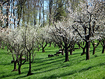 cherry orchards