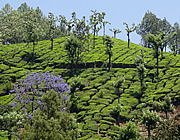 India Kerala Munnar - Tea plantation Western Ghats