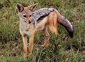 masai mara black backed jackal