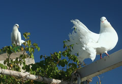 doves on the roof terrace