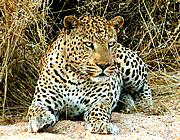 The leopard Nkosi at Okonjima