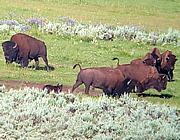 Yellowstone wolf and bison