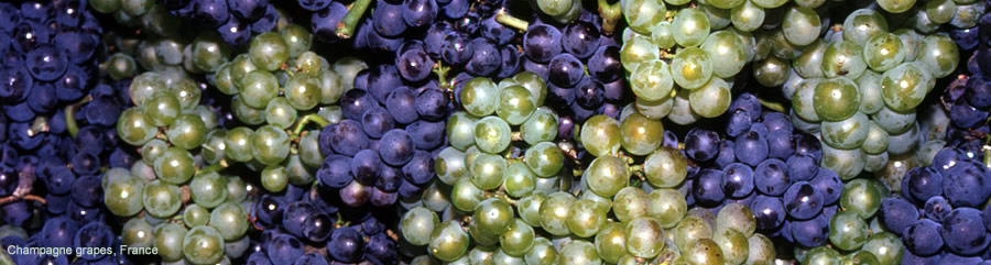 The Silk Route - World Travel: Champagne Grapes, France